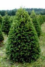 start a family tradition of choosing and cutting your very own fresh texas grown christmas tree - How To Start A Christmas Tree Farm